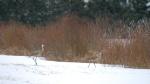 Sandhill Crane pair Firebird WMA CR6 N of Kettle River Carlton County MNP1033456-2