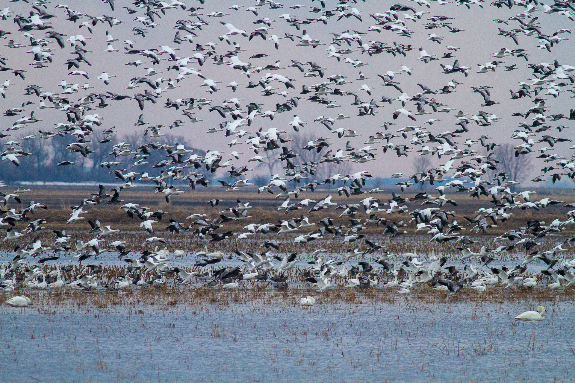 Snow Goose flock in flight north of Nashua MN IMG_3878