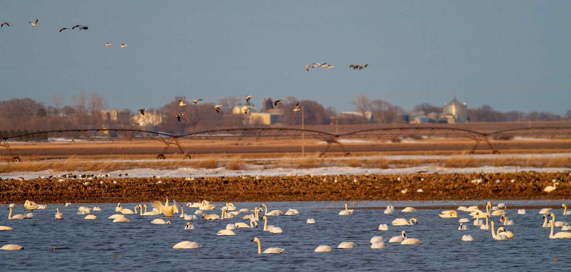 Tundra Swans in flooded field near Nashua MN IMG_3673