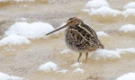 Wilson's Snipe on ice along the Kettle River Carlton County MNIMG_4106