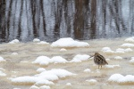 Wilson's Snipe on ice along the Kettle River Carlton County MNIMG_4130