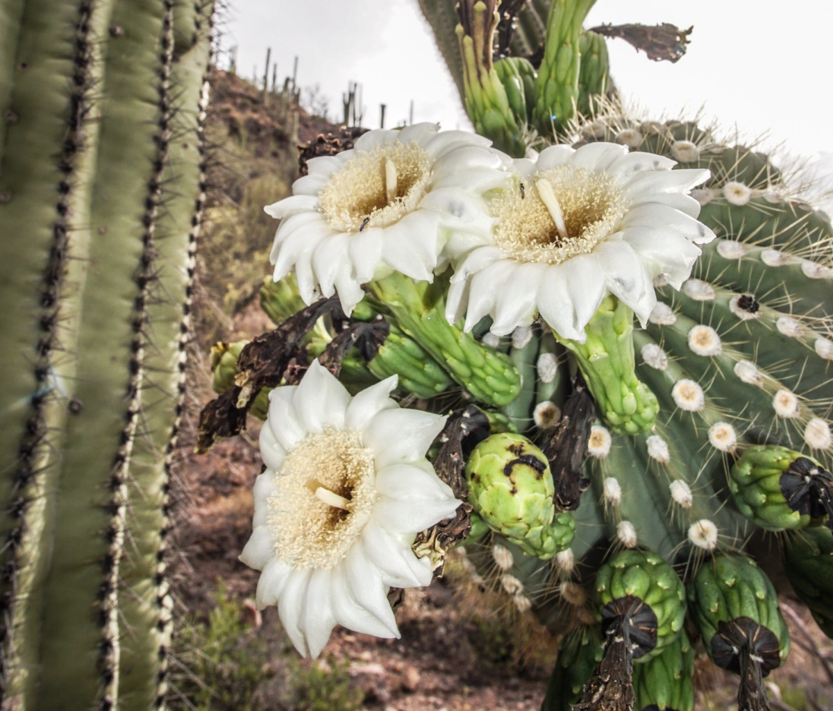 Crazy Cacti: Saguaros & Sonoran Desert—Southeast Arizona ... on crazy house architecture, crazy house tree, crazy house car, crazy photography, crazy house cat, crazy house fire, crazy house paint, crazy bird, crazy house book, crazy house animals, crazy sports, crazy house history, crazy house design, crazy house art, crazy patio, big ears plant, crazy house texas, crazy house people, crazy apple,